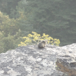 a photo of a pika animal outdoors
